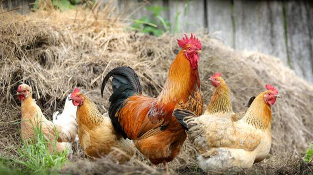 six-figure income raising backyard chickens